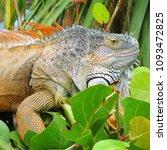 iguana in nature habitat  latin ... | Shutterstock . vector #1093472825