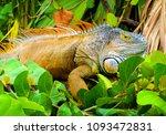 iguana in nature habitat  latin ... | Shutterstock . vector #1093472831
