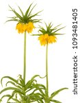 two blooming yellow crown... | Shutterstock . vector #1093481405