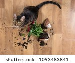 domestic cat breed toyger... | Shutterstock . vector #1093483841