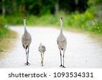 Sandhill Crane Family On An...