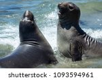 elephant seals at vista point... | Shutterstock . vector #1093594961