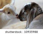 two baby goats in love  focus... | Shutterstock . vector #10935988
