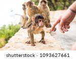 young barbery ape sitting on a... | Shutterstock . vector #1093627661