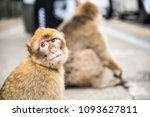 young barbery ape sitting on a... | Shutterstock . vector #1093627811