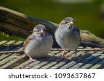two young fledgling house... | Shutterstock . vector #1093637867