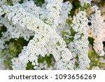 spiraea cinerea grefsheim.... | Shutterstock . vector #1093656269