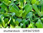 Small photo of fresh water weed as background