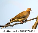 laughing dove   captured in... | Shutterstock . vector #1093674401