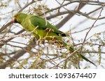 a parakeet captured from qurum... | Shutterstock . vector #1093674407