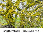 the trunk of a tree covered... | Shutterstock . vector #1093681715