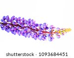 lupinus flowers isolated on... | Shutterstock . vector #1093684451