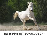 Stock photo white arabian horse running free 1093699667