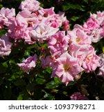 beautiful  heritage rosa... | Shutterstock . vector #1093798271