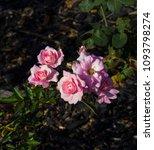 beautiful  heritage rosa... | Shutterstock . vector #1093798274
