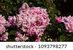 beautiful  heritage rosa... | Shutterstock . vector #1093798277