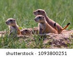 Prairie dogs in Cherry Creek State Park, suburban Denver