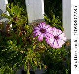 Small photo of A small clump of hardy long flowering African daisy Osteospermum plants from the Asteraceae species adds color to the winter landscape with white ,pink, cerise and purple flowers.