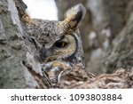Great Horned Owl Hiding In A...