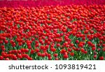 beautiful field of red tulips... | Shutterstock . vector #1093819421