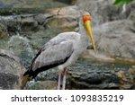 the milky stork  mycteria... | Shutterstock . vector #1093835219