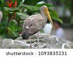the milky stork  mycteria... | Shutterstock . vector #1093835231