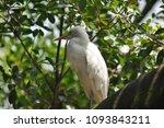 the great egret  ardea alba  | Shutterstock . vector #1093843211
