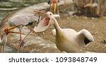 the great white pelican ... | Shutterstock . vector #1093848749