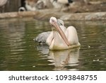 the great white pelican ... | Shutterstock . vector #1093848755
