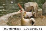 the great white pelican ... | Shutterstock . vector #1093848761