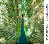 the peafowl peacock feathers... | Shutterstock . vector #1093873259