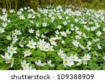 White Wood Anemone Flowers