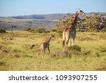 A Mother Giraffe   Giraffa...