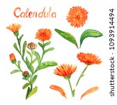 calendula stem with flowers and ... | Shutterstock . vector #1093914494