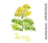 tansy  tanacetum vulgare ... | Shutterstock . vector #1093914635