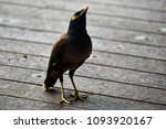 A Mynah Bird Looks At The...
