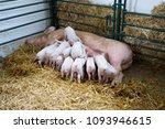 fertile sow lying on hay and... | Shutterstock . vector #1093946615