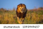 Stock photo lion walking distance 1093949657
