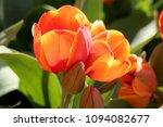 Orange Tulip Flower Beautiful Orange - Fine Art prints