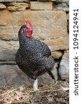 free range chickens in field | Shutterstock . vector #1094124941