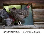 free range chickens in field   Shutterstock . vector #1094125121
