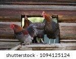 free range chickens in field   Shutterstock . vector #1094125124