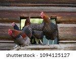 free range chickens in field   Shutterstock . vector #1094125127