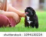Stock photo a black and white small puppy walking in a green garden with owner in daytime lighting portrait of 1094130224