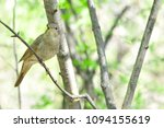 thrush nightingale  bird. | Shutterstock . vector #1094155619
