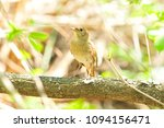 thrush nightingale  bird ... | Shutterstock . vector #1094156471