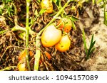 lots of tomatoes are expired... | Shutterstock . vector #1094157089