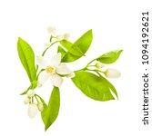 flowering citrus. spring. white ... | Shutterstock . vector #1094192621