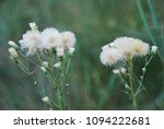 Yellow Flowers With White Fluf...
