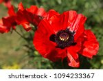 Closeup Of A Vibrant Red Poppy...